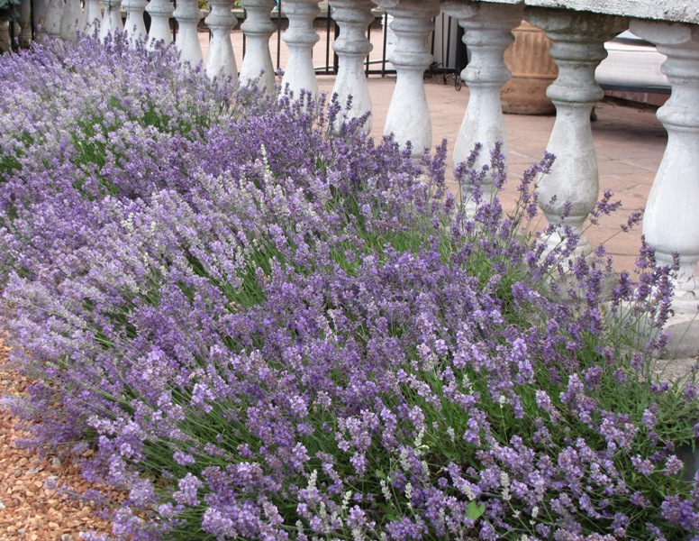 Lavender Blooming Nearstore SMALL